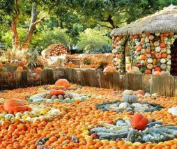 calabazas en Dallas